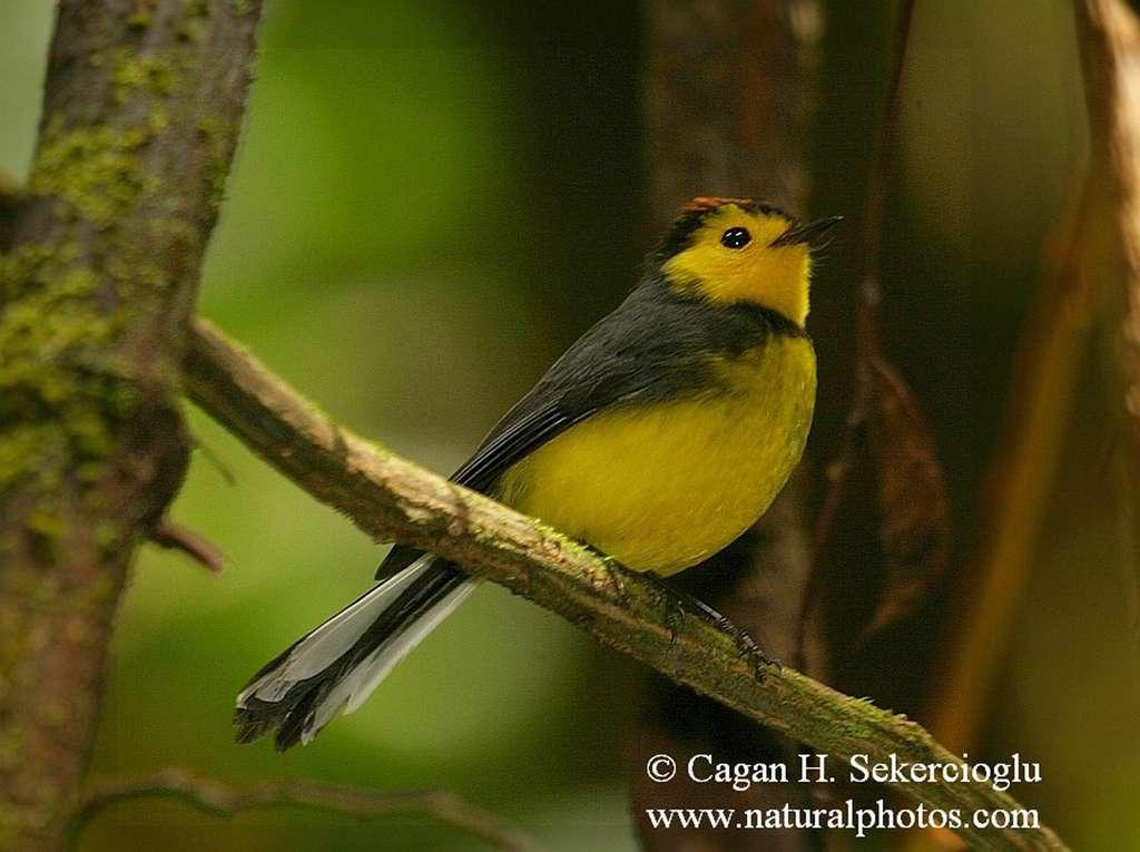 Une fauvette du Nouveau Monde, oiseau tropical. © Çağan Şekercioğlu, université de l'Utah