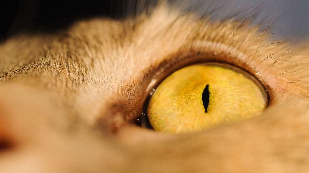 L'œil du chat, capable de voir dans la pénombre