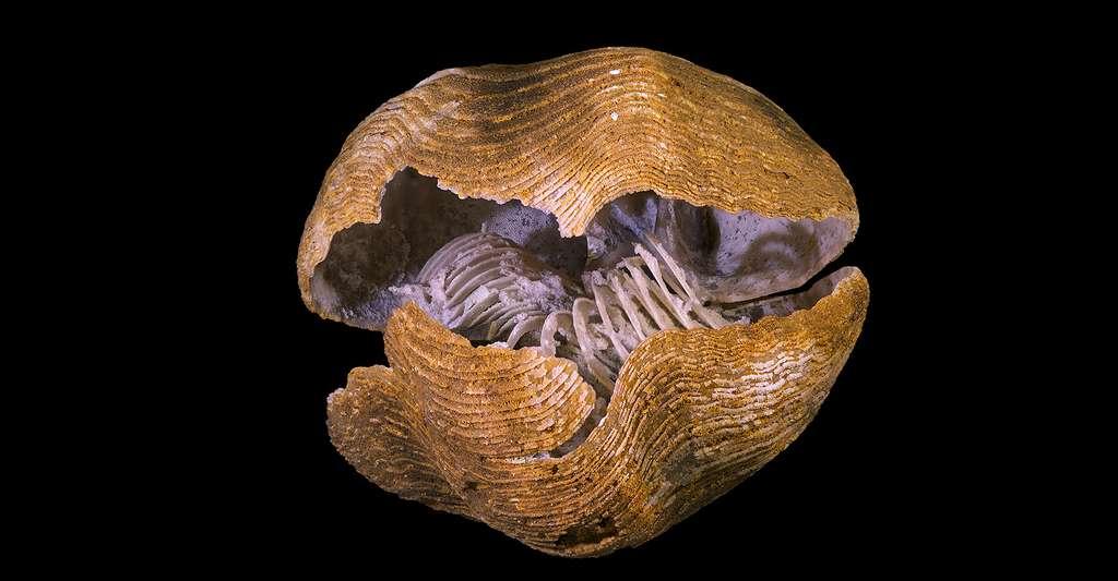 Fossile de brachiopode datant du Jurassique avec son lophophore intact (ici un Liospiriferina rostrata).© Didier Descouens, Wikimedia commons, CC by-sa 4.0