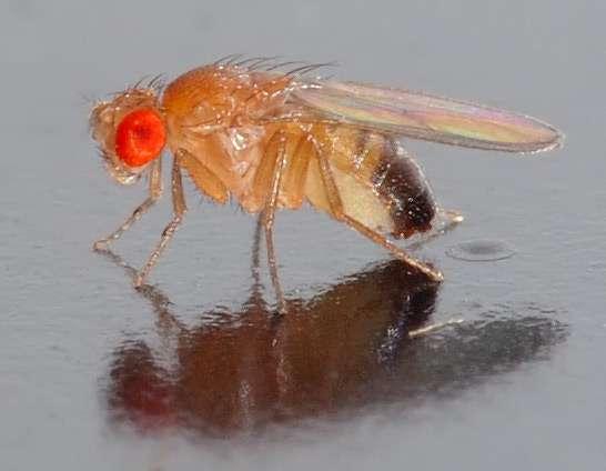 Drosophila melanogaster, également appelée mouche du vinaigre, est l'espèce de drosophiles la plus utilisée lors des études génétiques car elle est facile à élever. De plus, ces mouches n'ont que 4 paires de chromosomes. Des chercheurs proposent déjà de les congeler pour éviter d'avoir à les élever tant qu'il ne faut pas en produire de nouvelles. © André Karwath, Wikimedia commons, CC by-sa 2.5