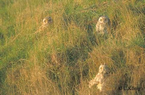 Hiboux des marais (Vendée). © Reproduction et utilisation interdites