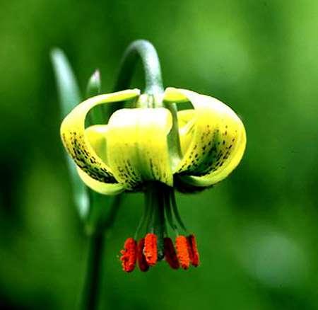 Lilium pyrenaicum Gouan © Javier Ara Wikipedia
