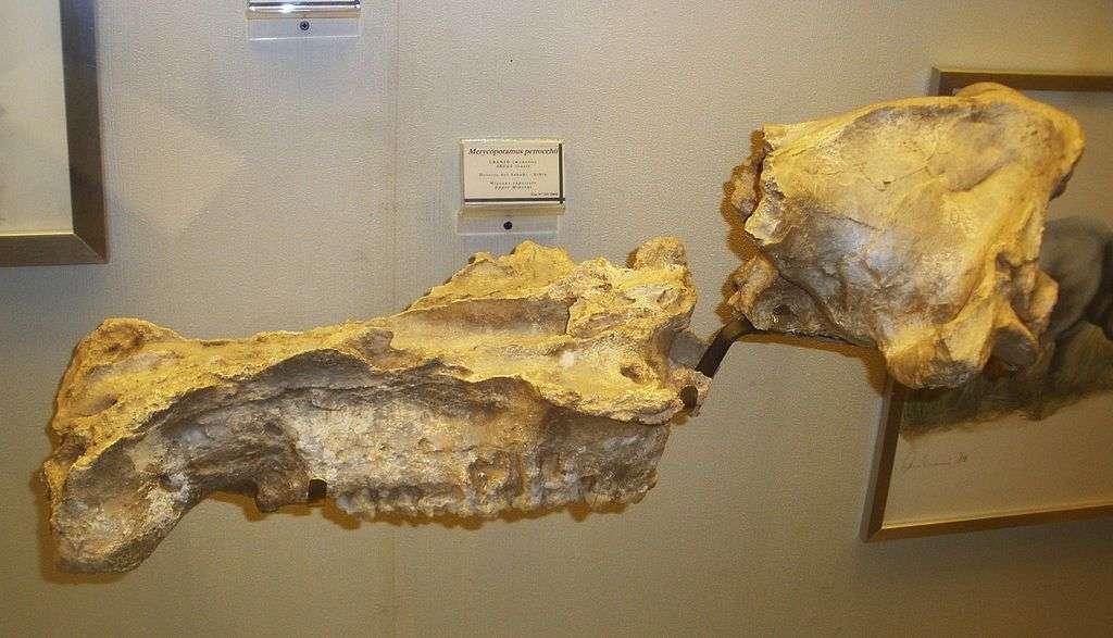 Fossile de Libycosaurus petrocchii (Merycopotamus petrocchii). © Ghedoghedo, Wikimedia commons, CC 3.0