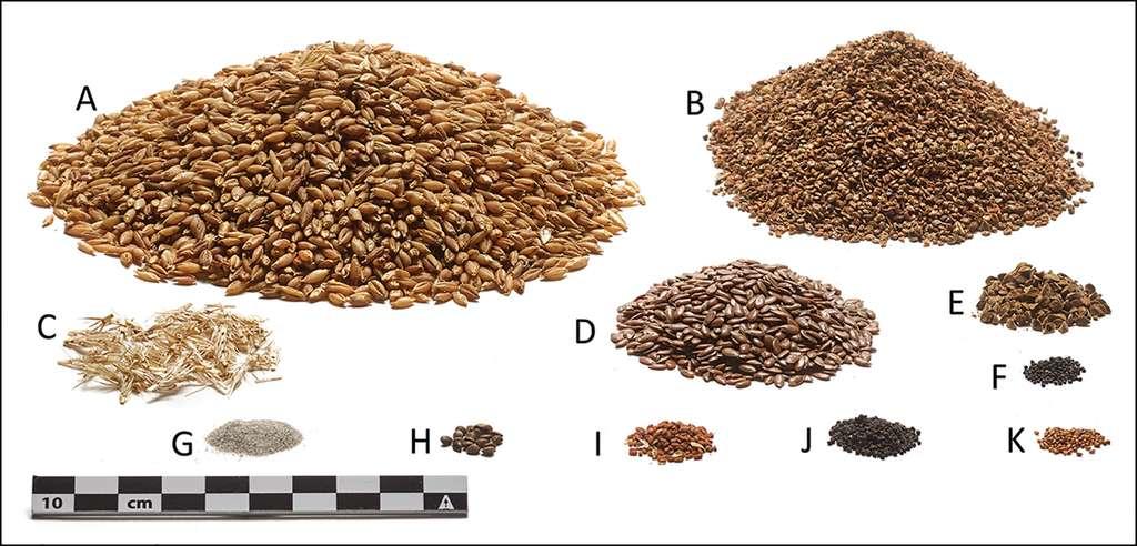 Ingrédients végétaux composant le dernier repas de l'homme de Tollund, les proportions sont respectées. Orge (A), persicaire pâle (B), segments de rachis d'orge (C), lin (D), liseron noir (E), chénopode blanc (F), sable (G), orties de chanvre (H), or-de-plaisir (I), euphorbe des champs (J), pensée des champs (K). © Nielsen et al, 2021