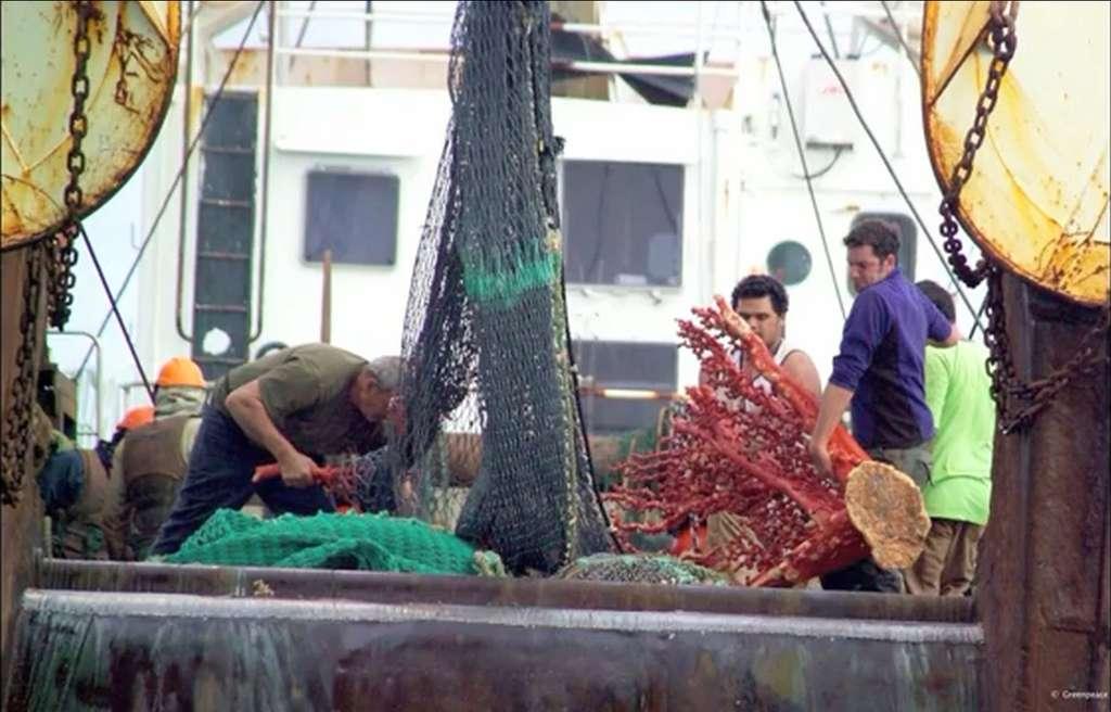 Le 11 avril 2013, Claire Nouvian, directrice de l'association Bloom tenait une conférence sur la problématique de la pêche au chalut profond. Le raclage des fonds, y explique-t-elle, engendre la destruction des récifs coralliens, puisque le filet ne sélectionne évidemment pas les espèces qu'il capture. On voit ici (image projetée durant cette conférence) un corail plurimillénaire ramené par le chalut. © Capture d'écran, TEDxtalks, YouTube