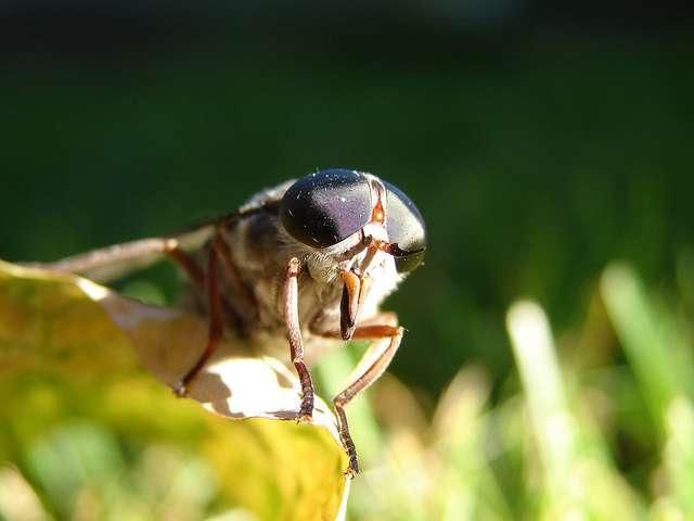 L'entreprise Ynsect pratique l'élevage de coléoptères (le plus grand groupe d'insectes, avec les scarabées, les hannetons et coccinelles) et de diptères (dont font partie les mouches, les moustiques et les taons dont on voit ici une tête agrandie). © Dagwald, Flickr, cc by nc sa 2.0