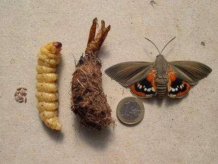 Les quatre phases de la vie de Paysandisia archon : les œufs, la larve dévoreuse de palmier, la chrysalide et l'adulte. © Jean-Benoît Peltier