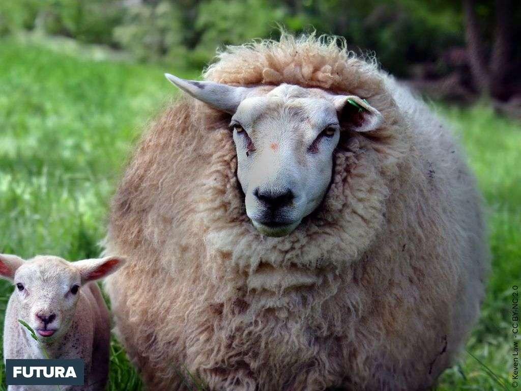 Mouton - Ovis aries