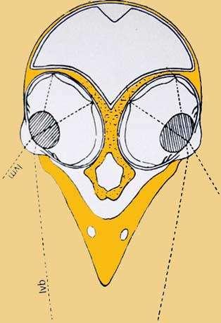 Schéma de la coupe d'une tête. (Lvm : Ligne de vision monoculaire ; Lvb : Ligne de vision binoculaire). © D'après Grassé, Zoologie, modifié, reproduction et utilisation interdites