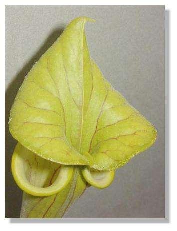 Figure 11.Urne de Saracenia vue de dessus. © Biologie et Mulitmedia