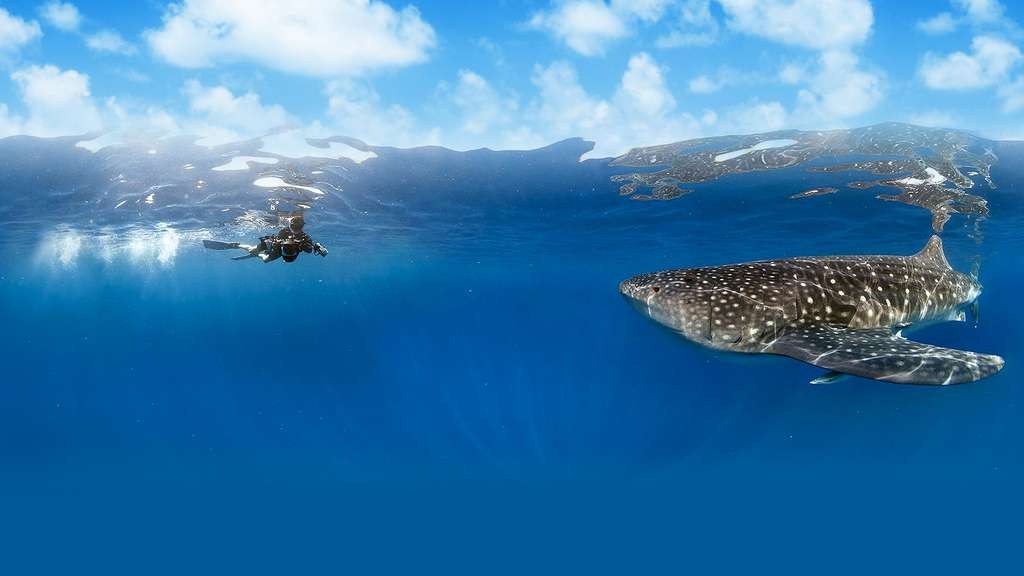 Le requin-baleine, le plus grand poisson du monde