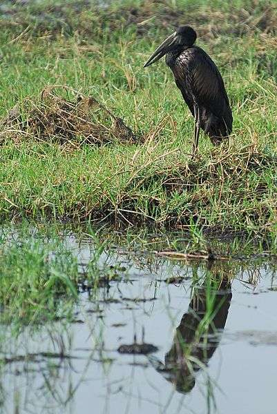 Bec-ouvert dans le marais de l'Okavango. © Jean-Louis Vandevivère, CC by-SA 2.0