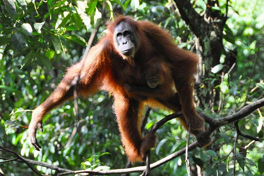 La femelle orang-outan élève seule son petit, en cherchant souvent à rester à proximité du mâle dominant, auprès duquel elle trouve du réconfort et qui lui évite les tentatives de viol de jeunes mâles ambitieux. © Drriss & Marrionn, Flickr, cc by nc sa 2.0