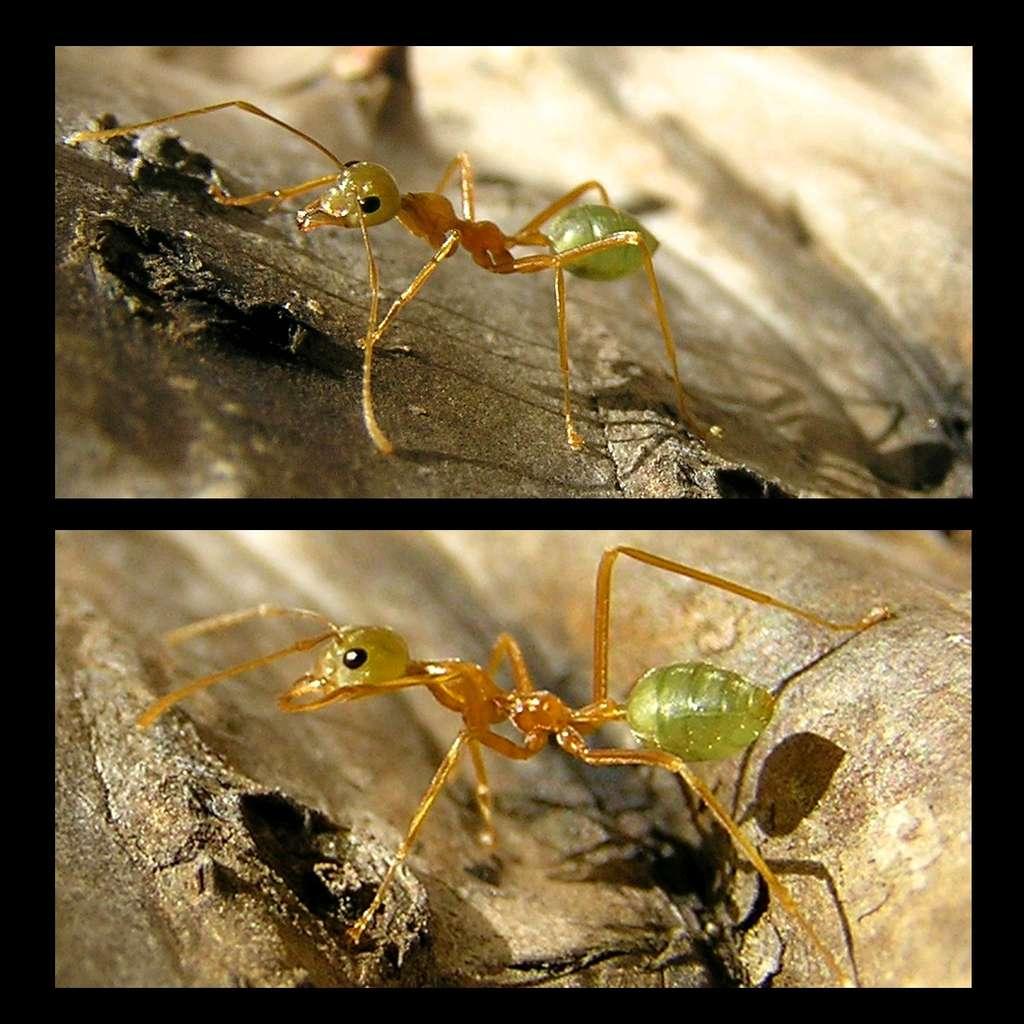 Les fourmis tisserandes exhibent de jolies couleurs, qui peuvent être utilisées pour caractériser l'individu en présence. Par exemple, les reines sont vertes tandis que les mâles sont noirs. Des ouvrières, comme celle montrée ici, peuvent mesurer jusqu'à 1 centimètre. © Pierre Pouliquin, Flickr, CC by-NC-2.0