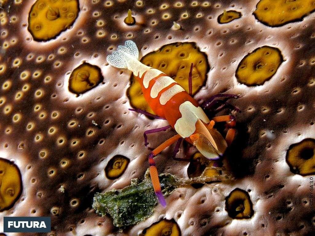 Décapode de l'espèce Periclimenes imperator sur un concombre de mer