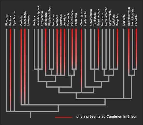 En rouge, phylums déjà représentés au Cambrien inférieur. Diagramme réalisé d'après des données moléculaires. © DR
