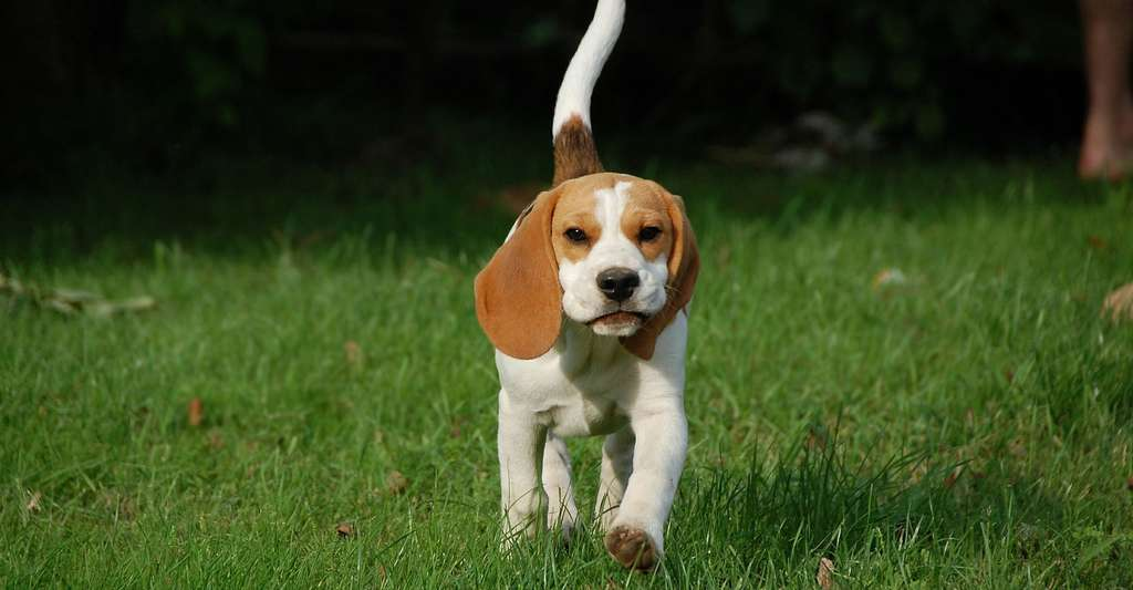Beagle. © Grz3s, Pixabay, DP