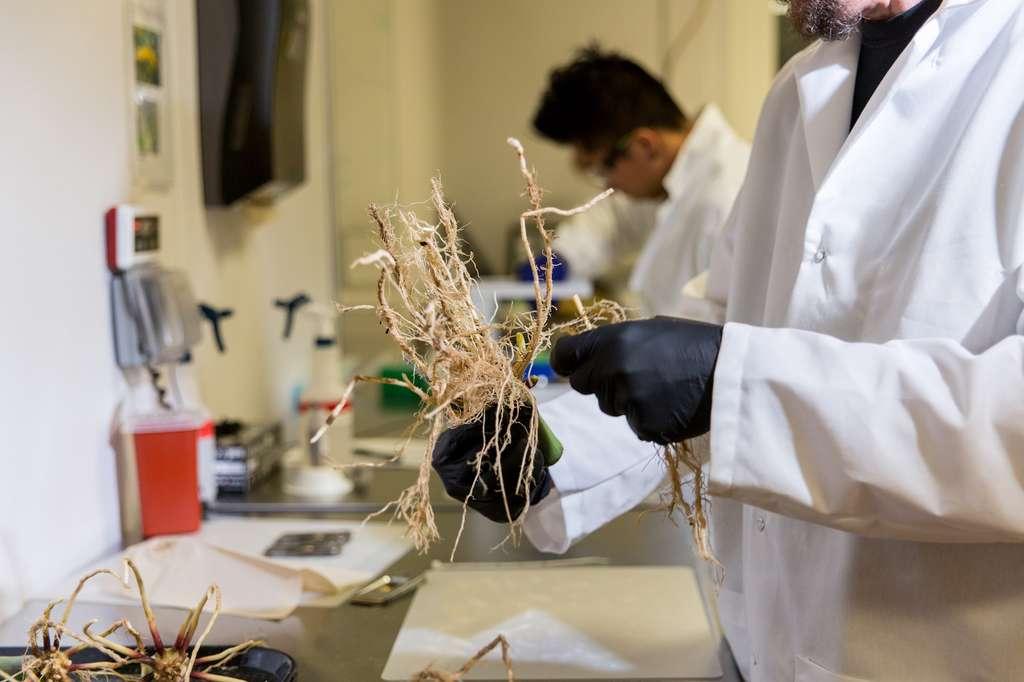 Les bactéries se fixent aux racines des plantes pour les aider à assimiler l'azote atmosphérique. © PivotBio