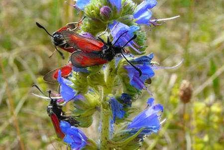 Au mois de juin, la colline sèche du Bollenberg (classée Znieff), dans le Haut-Rhin, offre un refuge pour de nombreuses espèces de papillons, dont des zygènes qui sont inféodées aux vipérines et aux cirses communs. Elle abrite plusieurs espèces rares dont Musaria rubropunctata (seule station en Alsace). © Patrick Straub