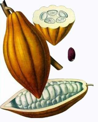 Par quelles étapes passent les fèves de cacao ? © Franz Eugen Köhler, Köhler's Medizinal-Pflanzen, Wikimedia Commons, DP