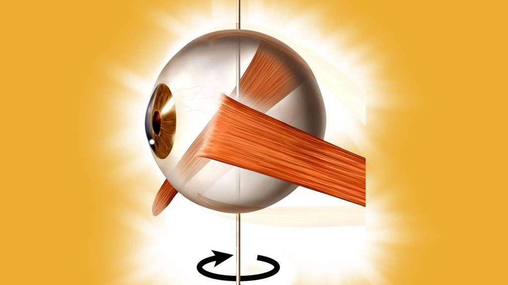 Le muscle droit latéral fait tourner l'œil