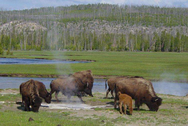 Bisons au Yellowstone. © Daniel Mayer, GFDL, version 1.2