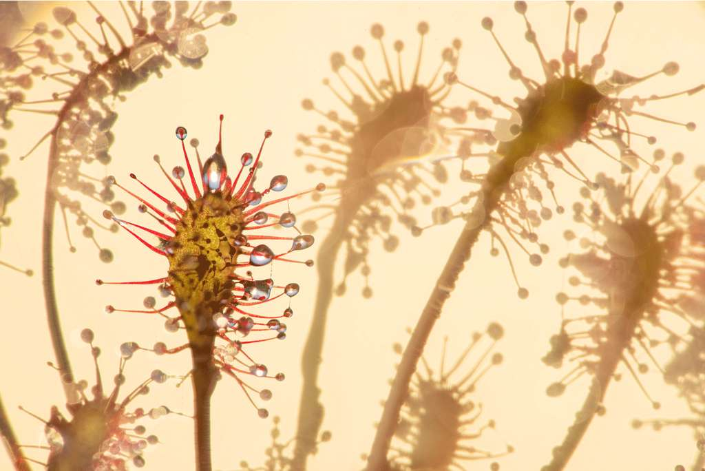 Sundew. © Talib Almarri, BigPicture Natural World Photography Competition