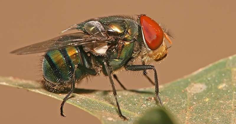 Chrysomya megacephala a de beaux yeux rouges et un corps mordoré. Vivant dans des pays où il fait chaud, elle connaît une méthode originale pour se rafraîchir. © Muhammad Mahdi Karim, licence CC, via Jornal da USP