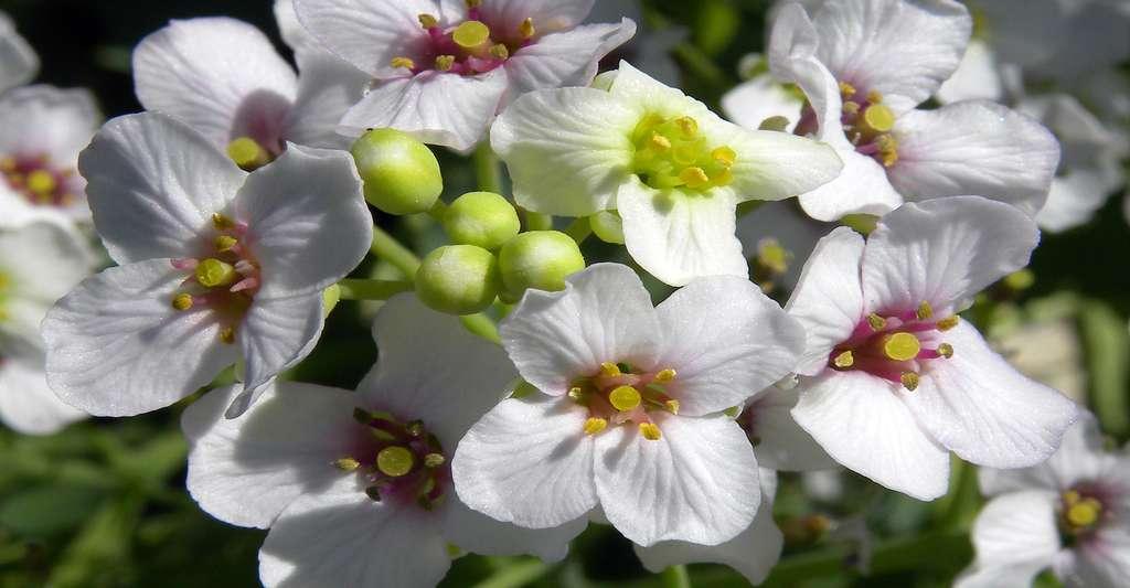Fleurs du chou marin. © Wilson44691, CC by-nc 3.0
