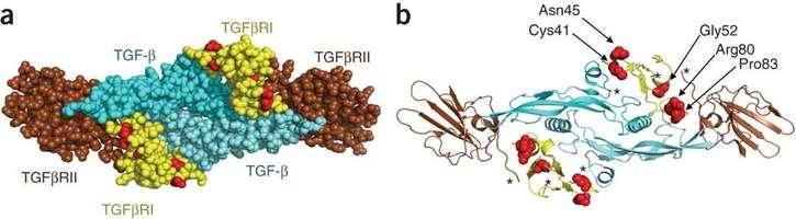 Le récepteur cellulaire TGFBR1 interagit avec un dimère de molécules TGFß, grâce à son association avec an autre récepteur, TGFBR2 (a). Des mutations empêchent le bon fonctionnement de cette interaction ou de la transmission du signal (b). © Nature Genetics