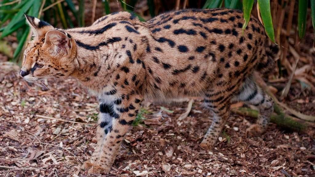 Le serval, un félin africain