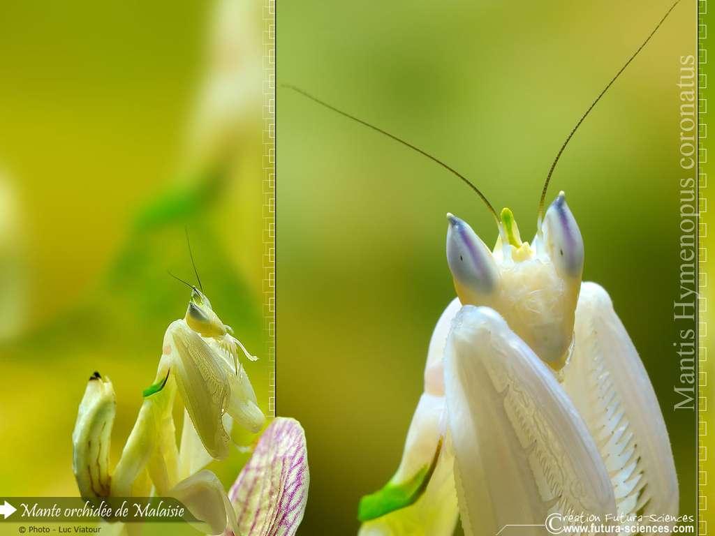 Mante orchidée Malaisie