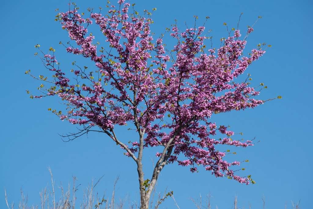 L'arbre de Judée. © zToRAz, Flickr