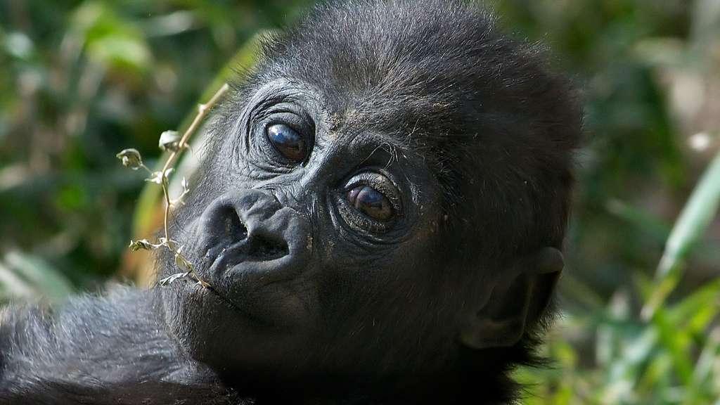 Le bébé gorille, bientôt un grand singe