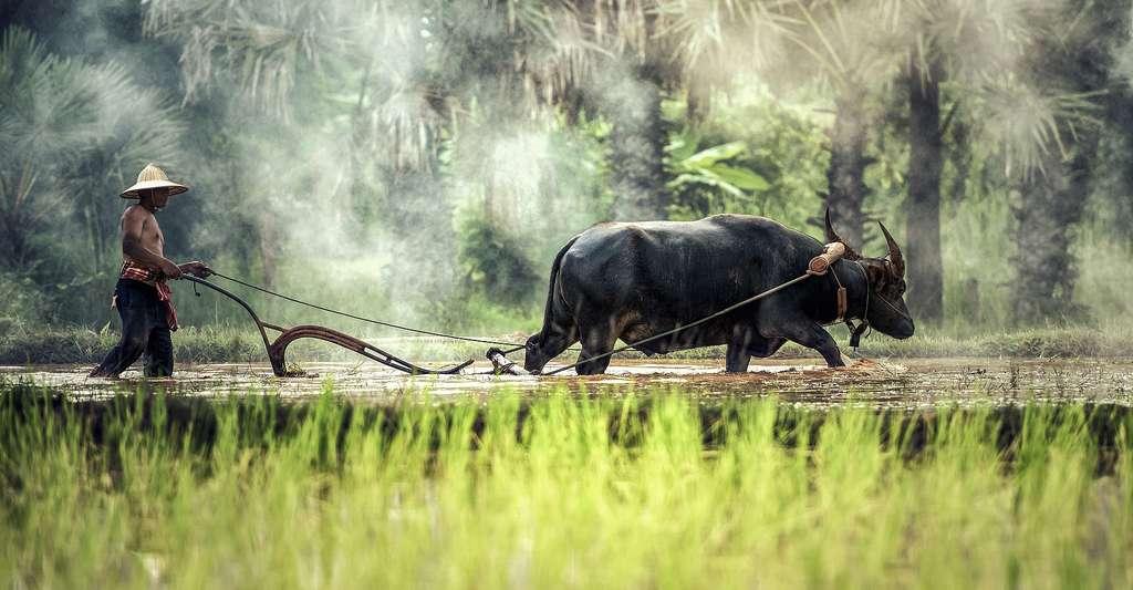 Découvrez des livres et sites Internet sur le riz. L'Homme et le buffle travaillent dans les rizières. © Sasint, Pixabay, DP