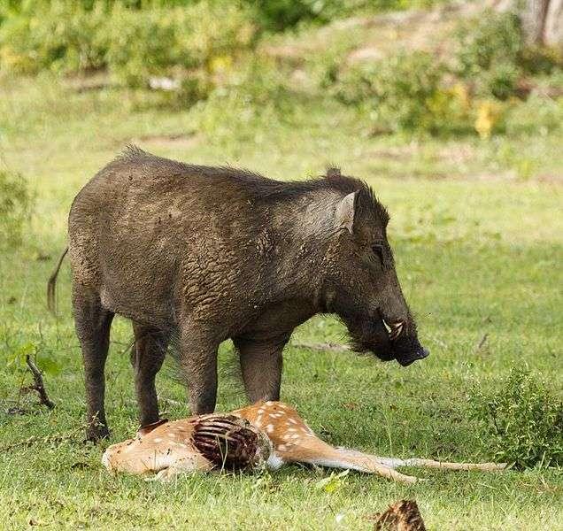 Sanglier indien se nourrissant d'une charogne. © Thimindu, Wikipedia, cc by sa 2.0