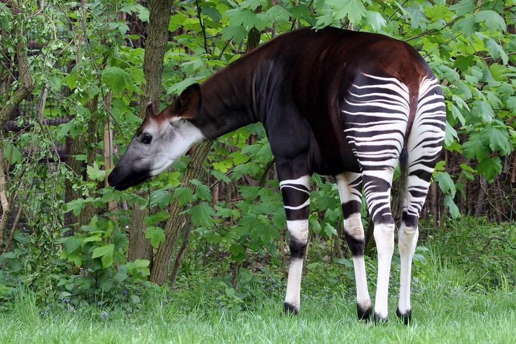 L'okapi rappelle un peu le zèbre par ses rayures, mais c'est le plus proche parent de la girafe. © Bildagentur Zoonar GmbH, Shutterstock