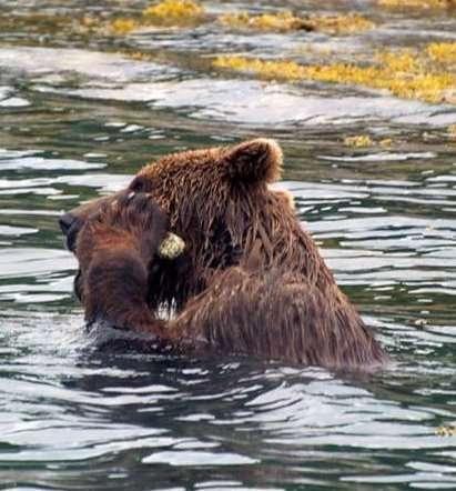 Cet ours brun a ramassé une pierre pour se gratter le museau avec. © Volker B Deecke, Université de Cumbria