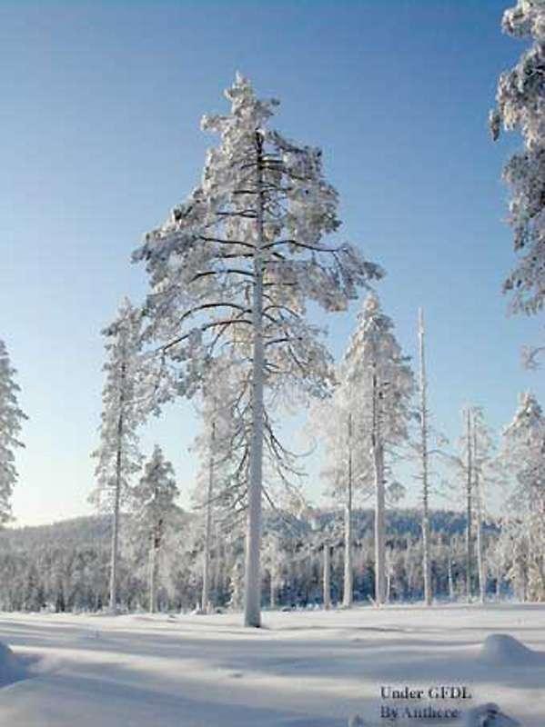 Laponie, forêt boréale en hiver. © Anthere GNU FDL 1.2