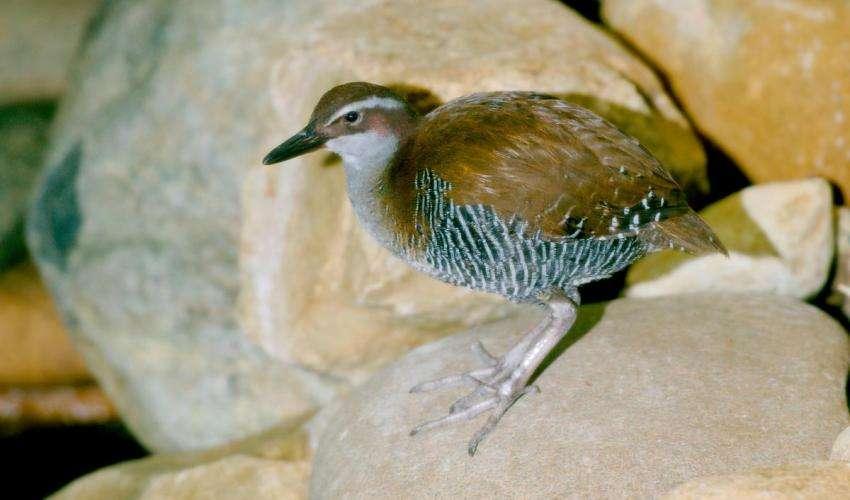 Le Râle de Guam (Hypotaenidia owstoni) est le deuxième oiseau de l'histoire à se rétablir après avoir été déclaré « Éteint dans la nature ». Autrefois commun sur l'Île de Guam, dans le Pacifique, les populations de cette espèce ont décliné après l'introduction accidentelle du Serpent brun arboricole (Boiga irregularis), à la fin de la Seconde Guerre mondiale. © Josh More, CC by-nc-nd -2.0
