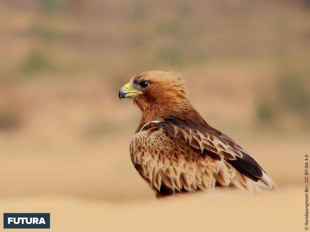 L'aigle botté possède une envergure maximale de 130 cm