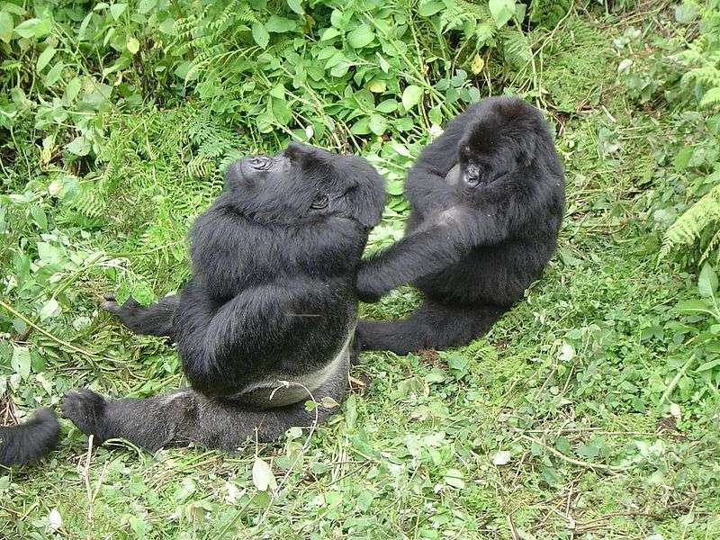 Gorille « dos argenté » et une femelle. © Mantis 21, CC0 1.0 PDD