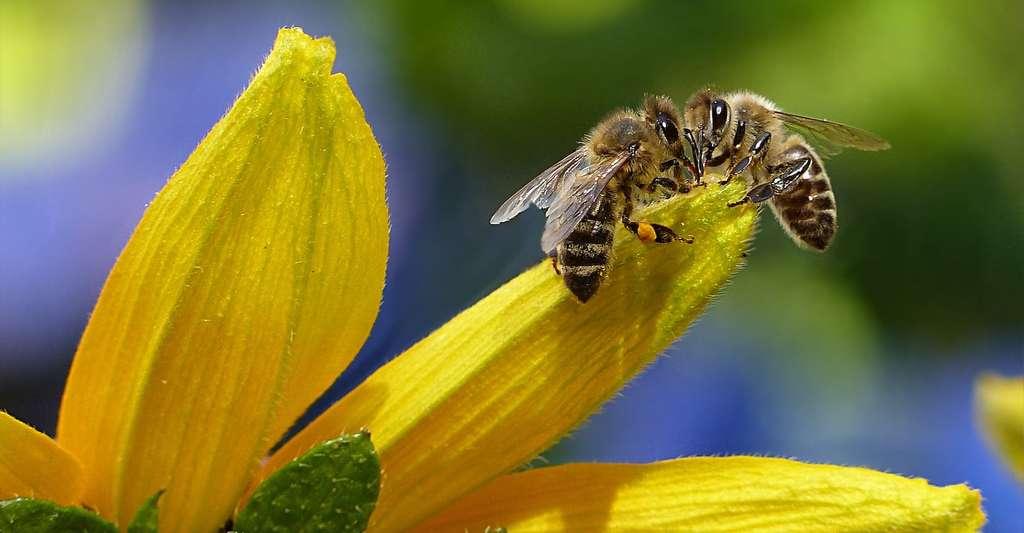 Si trop d'abeilles sont transformées en zombies par les mouches, c'est toute la colonie qui peut se trouver déstabilisée. © Oldiefan, Pixabay, CC0
