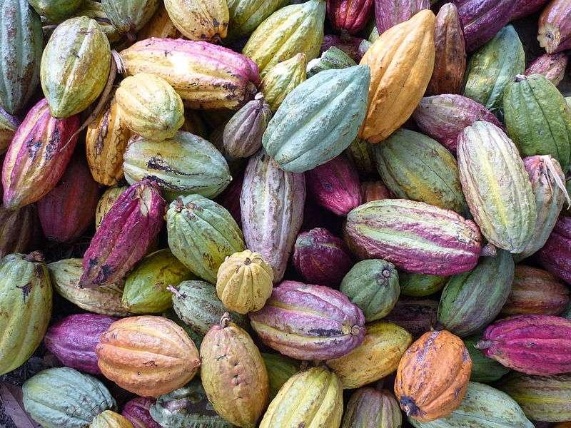 Le chocolat est issu d'une graine d'un fruit particulier, la cabosse. © Philstone, Wikimedia, CC by-sa 3.0