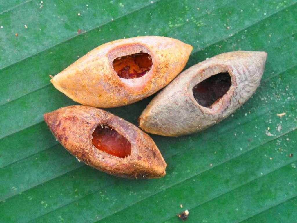Des sabots ? Non, des noix de coco percées par le rat vika avec ses dents. Le rongeur en est très friand. © Tyrone Lavery, The Field Museum