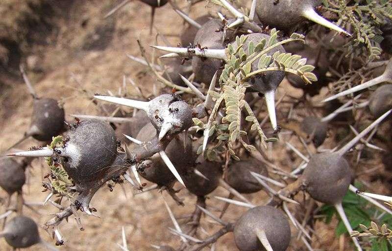 Acacia drepanolobium offre des épines en forme de globe aux fourmis du genre Crematogastern, qui en font leur gîte. © Pharaoh han / Licence Creative Commons
