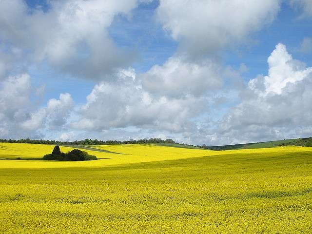 Dans les champs de colza utilisant des semences traitées, les abeilles sauvages payeraient un lourd tribut. © Paul, Flickr, cc by nc nd 2.0