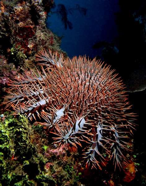 La grande étoile de mer Acanthaster planci recouverte d'épines venimeuses. © Nhobgood, Wikipedia, CC by-sa 3.0