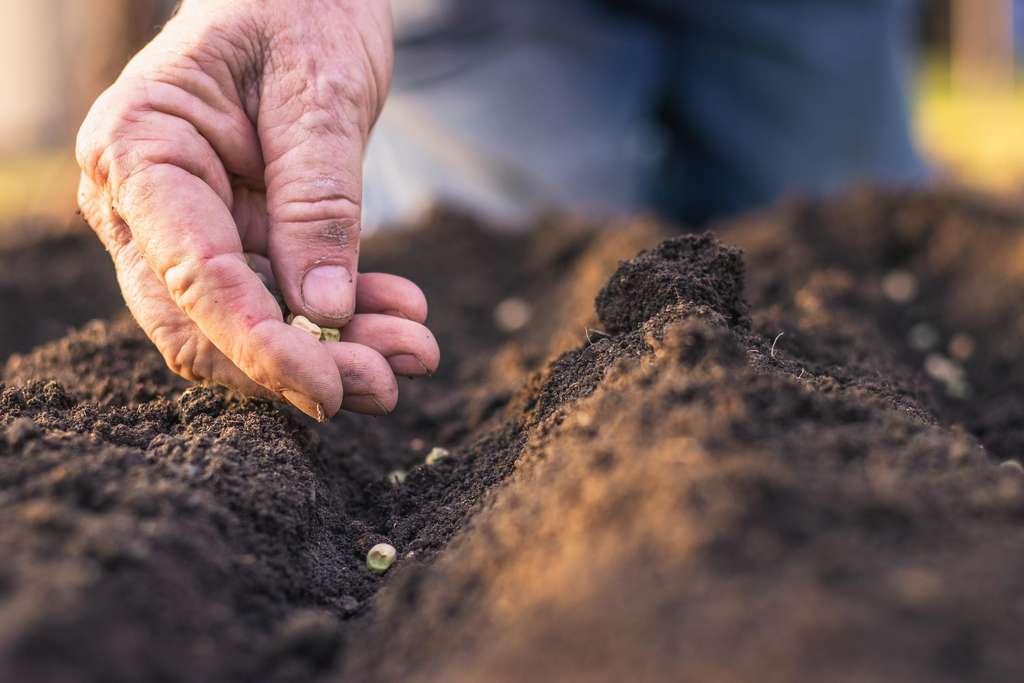 Les néonicotinoïdes sont des insecticides utilisés en enrobage de semences, c'est-à-dire que les semences achetées par les agriculteurs comportent une pellicule externe de néonicotinoïdes. Ils agissent en ciblant dans le cerveau les récepteurs nicotiniques de l'acétylcholine, ce qui provoque la paralysie de l'insecte puis sa mort. © Encierro, Adobe Stock