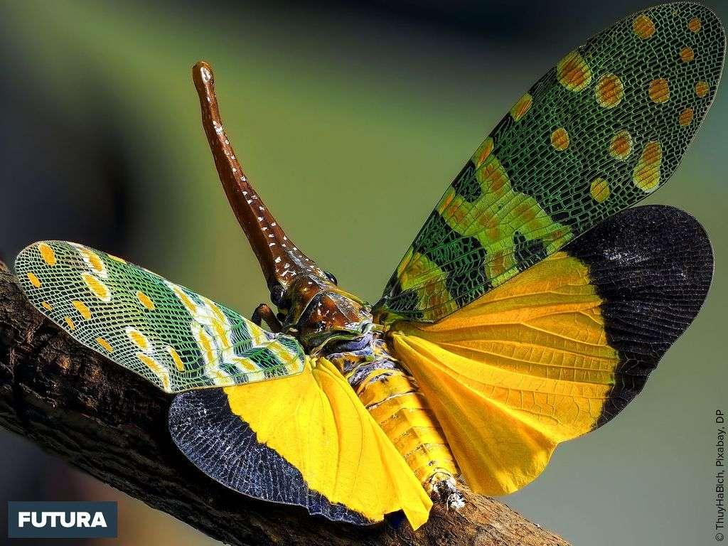 Cicadelle Pyrops candelarius originaire du Viêt Nam